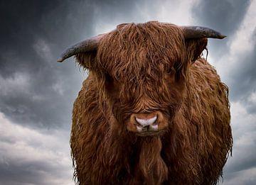 Schottischer Highlander Kalb im Regen mit dunklen Wolken von Marjolein van Middelkoop