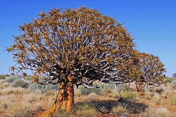 Quiver trees in Namibia