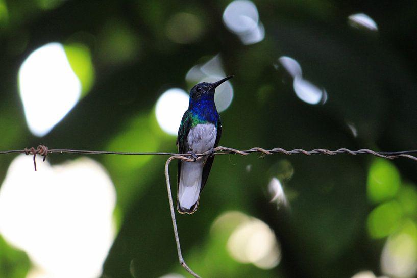 Blauwgroene Kolibrie. Mindo, Ecuador van Tom Hengst
