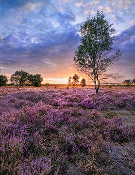 Bunte Sonnenuntergang auf einem lila farbigen Blüte heater_1 von Tony Vingerhoets