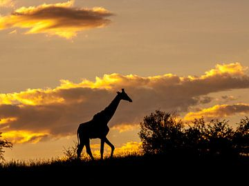giraffe silhouet in het warme avondlicht van