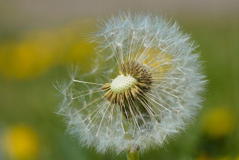Dandelion fluff van Marjan Noteboom