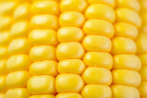 Verse gele maïs op de kolf