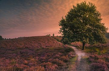 Sunlight falls over the purple moorland of Posbank sur Joris Pannemans - Loris Photography