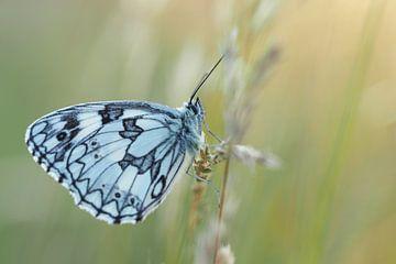Vlinder - dambordje
