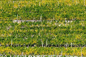 wijngaard van Leopold Brix