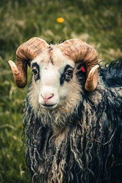 Widder mit Hörnern auf den Färöer-Inseln von Expeditie Aardbol