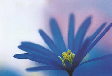 Blaue Aster von David Potter