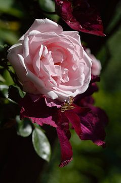 Roze Roos van Jeffry Clemens