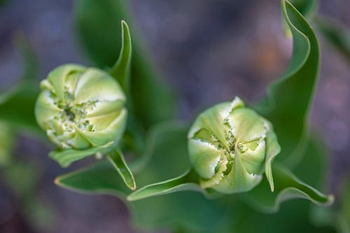 Close-up van witte tulpen