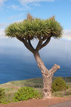 Canarische Eiland Draakboom van Angelika Stern