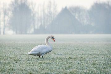 Zwaan op een vroege winterochtend