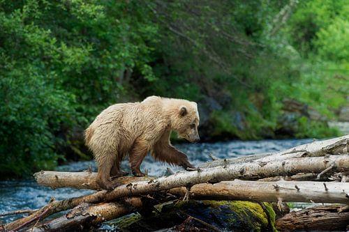 Grizzly steekt de rivier over