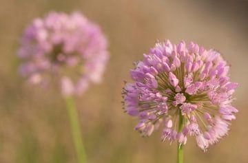 Violette Blumen von Charlene van Koesveld