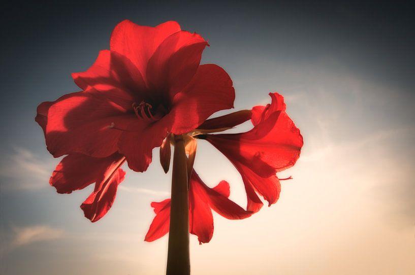 Amaryllis in volle bloei van Tammo Strijker