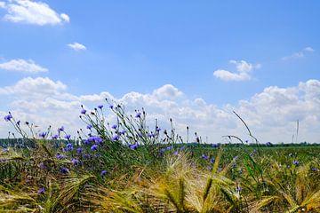 Korenbloemen van Ostsee Bilder
