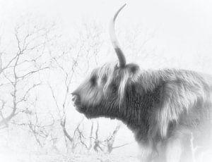 Ein schottischer Highlander, schwarz-weiß