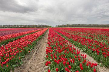 Tulpen aus Holland von Jeannette Kliebisch