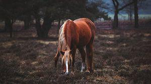 wild paard van AciPhotography