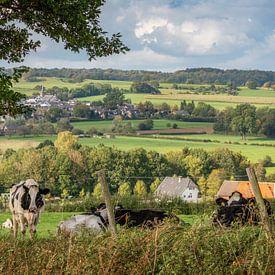 Des vaches curieuses dans le sud du Limbourg sur John Kreukniet