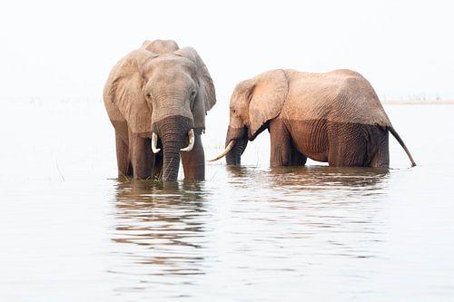Olifanten eten en drinken in het water