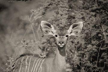 Porträt eines weiblichen Kudu von Ed Dorrestein