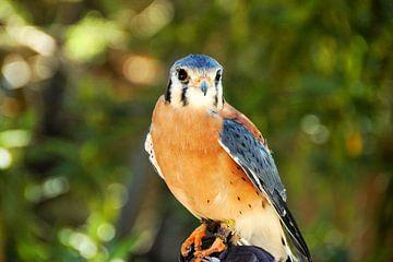 Aufmerksamer Hawk von Paul van Baardwijk