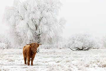 Ein schottischer Highlander im Schnee - Nationalpark Lauwersmeer von Bas Meelker
