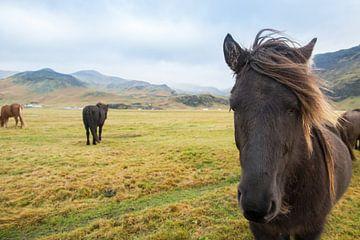 IJslandse paarden van René Schotanus