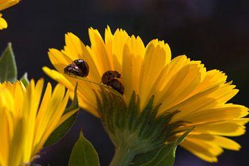 Marienkäfer beim Sex auf einer Ringelblume von J..M de Jong-Jansen