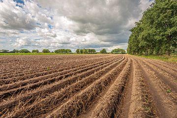Aardappelruggen kort voor de oogst van Ruud Morijn
