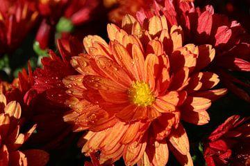 Chrysanthemen in einem feuchten Garten von Pim van der Horst