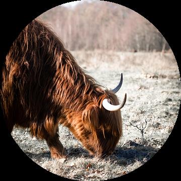 De grazende Schotse Hooglander van Milou Schothuis