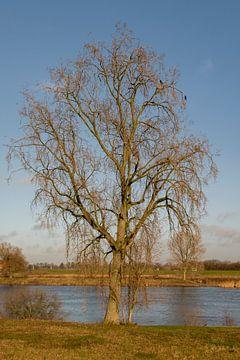 Prachtige boom aan de Maas van Lieke van Grinsven van Aarle