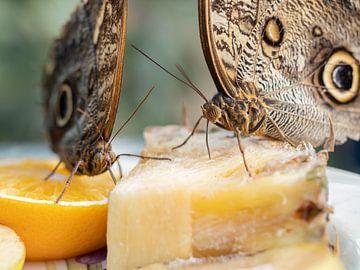 Vlinders snoepend van verse stukken fruit. van