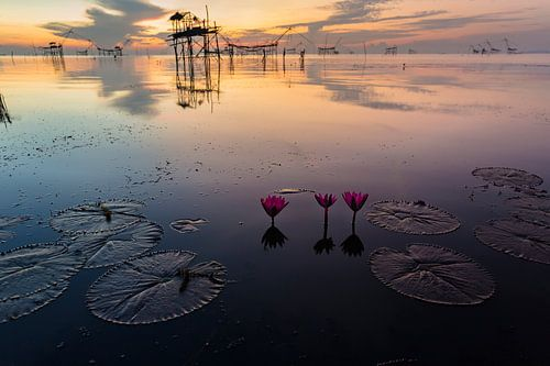 Lotus bloemen in meer in Phattalung