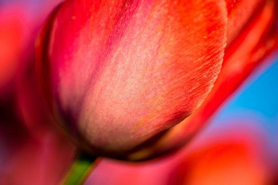 Rode tulp Close-up