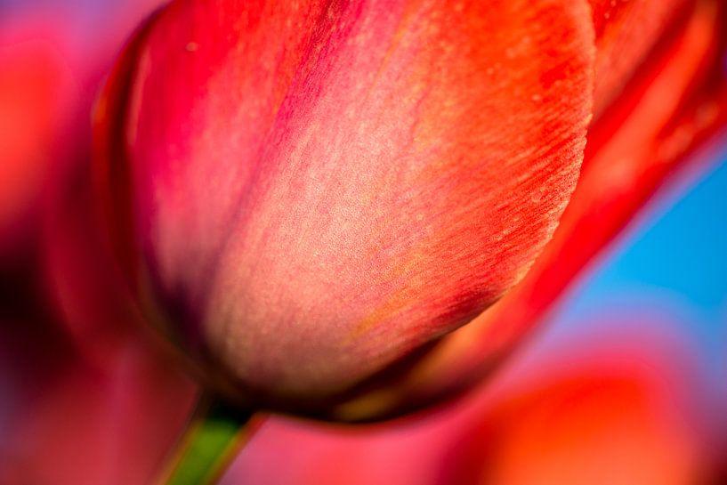 Rode tulp Close-up van Sebastiaan van Stam Fotografie