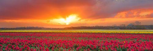uitgestrekte bollenvelden in bloei tijdens een zonsopkomst van