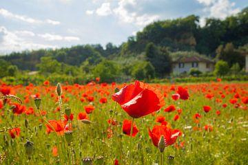 Toscaans klaprozenveld van Natascha Teubl