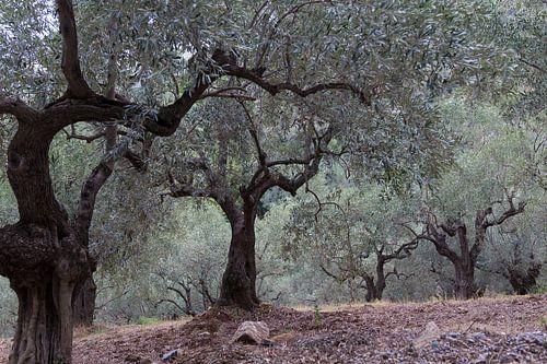 Der Olivenhain von Miranda van Hulst
