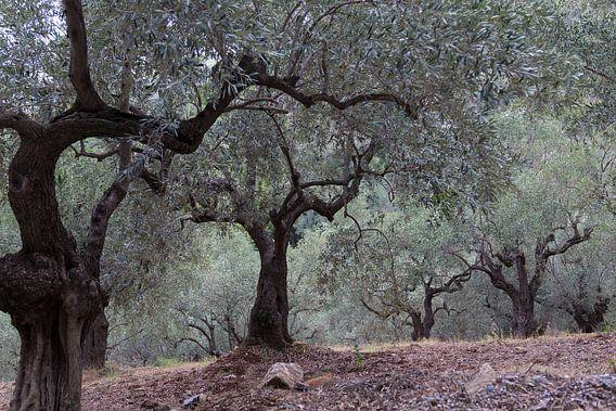 De olijfgaard