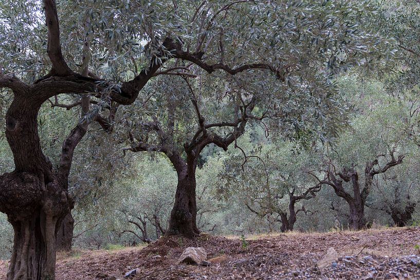 L'oliveraie sur Miranda van Hulst