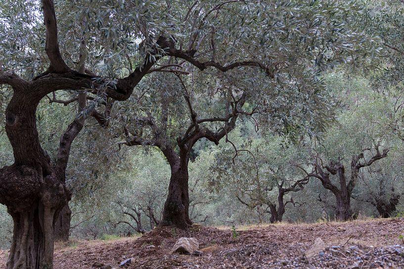 De olijfgaard van Miranda van Hulst