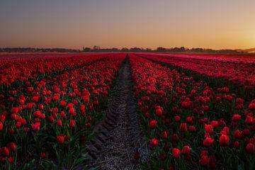 Code rood bij dit tulpenveld von Erik Graumans