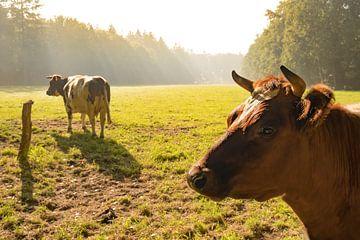 Des vaches hollandaises ceinturées de lakenvelder dans un pré au lever du soleil d'automne sur Sjoerd van der Wal