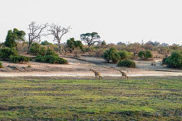De giraf over het grasland van Chobe National Park van Merijn Loch
