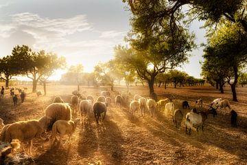 Olivenfeld mit Schafherde auf Mallorca von Fine Art Fotografie