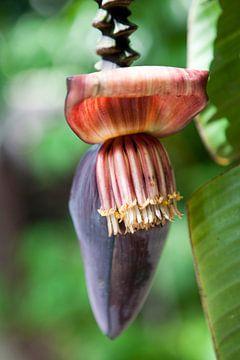 Bananen in de botanische tuin van Cairns van Kees van Dun