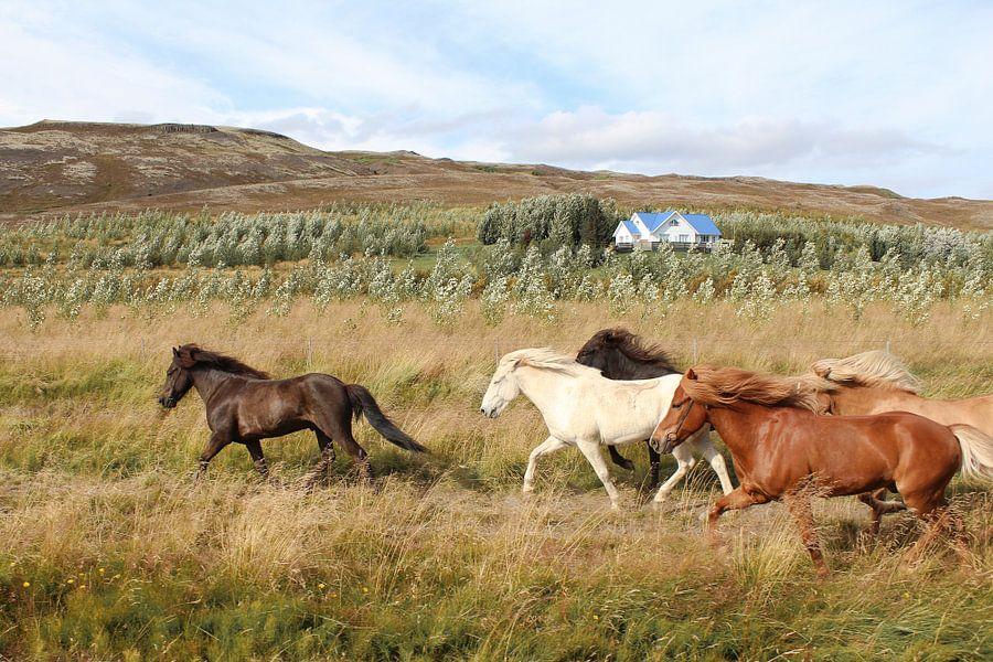 Rennende paarden in IJsland